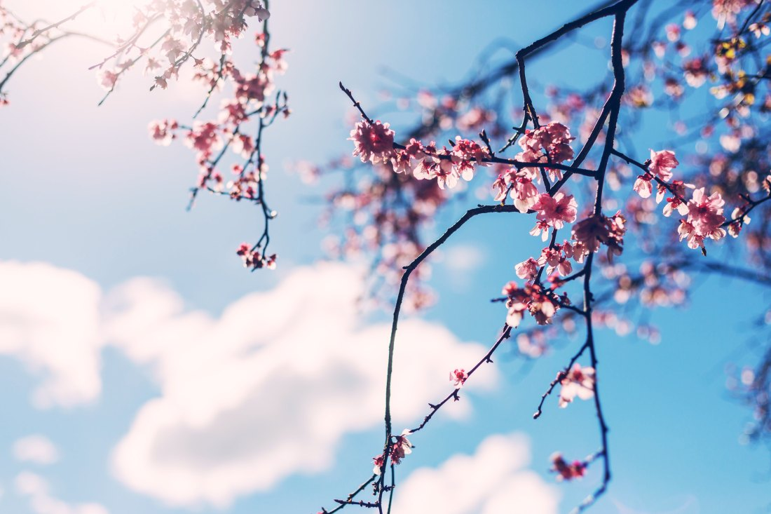 Cherry blossom branches by Jason Leung